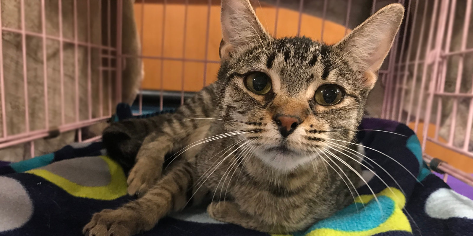 Marvelous, adoptable female tabby cat