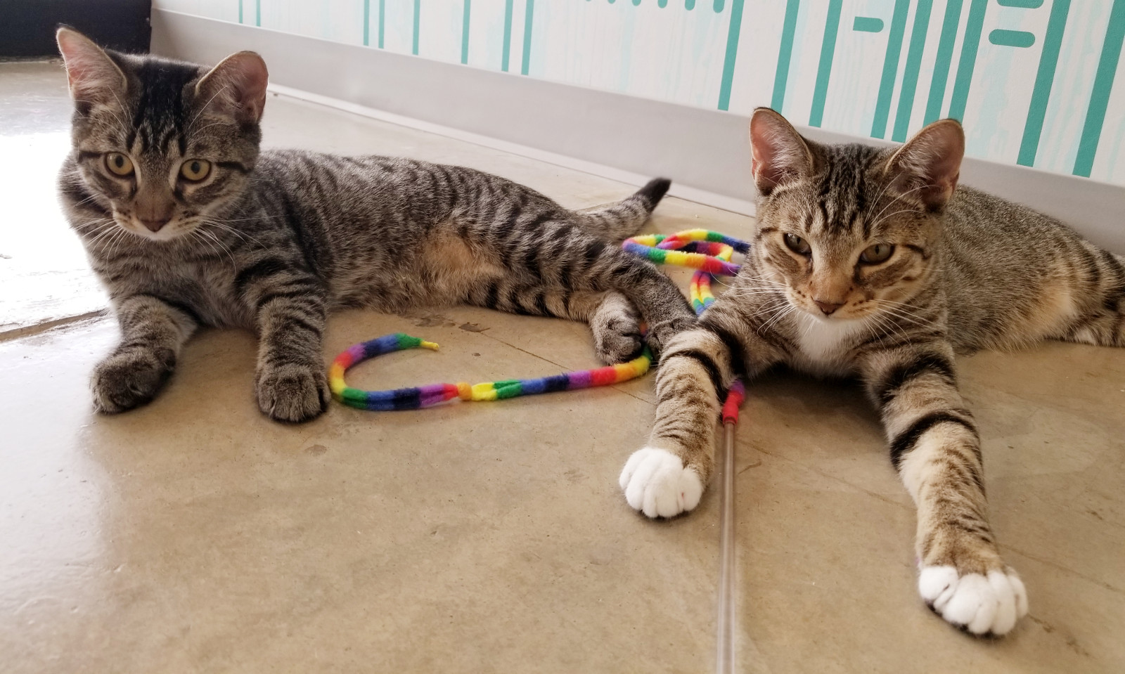 Wheels and Waffle, adoptable tabby cats